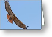 Bird Of Flight Greeting Cards - Red-tailed Hawk  Greeting Card by Carl Jackson