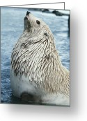 White Morph Greeting Cards - Southern Fur Seal Greeting Card by Doug Allan