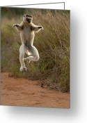 African Animals Greeting Cards - Verreauxs Sifaka Propithecus Verreauxi Greeting Card by Pete Oxford