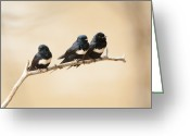 Amazon Greeting Cards - 3 White-chested Swift Greeting Card by Ben Queenborough