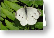 Designer Butterfly Works Photo Greeting Cards - Butterfly Collection Greeting Card by Debra     Vatalaro