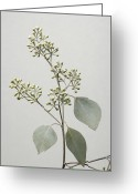 Bud Greeting Cards - A Seeded Eucalyptus Eucalyptus Cinerea Greeting Card by Joel Sartore