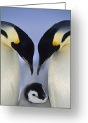 Courting Greeting Cards - Emperor Penguin Aptenodytes Forsteri Greeting Card by Tui De Roy