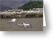 Watch Dog Greeting Cards - Flock Of Sheep Greeting Card by Joana Kruse