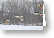 Feathers Greeting Cards - 4 In A Row Greeting Card by Robert Pearson