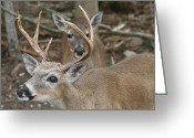 Florida Key Deer Greeting Cards - Key Deer Florida Greeting Card by Valia Bradshaw