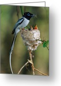 Morph Photo Greeting Cards - Madagascar Paradise Flycatcher Greeting Card by Cyril Ruoso