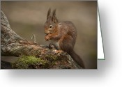 Peninsular Greeting Cards - Red Squirrel Greeting Card by Andy Astbury