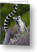 Primates Greeting Cards - Ring-tailed Lemur Lemur Catta Portrait Greeting Card by Pete Oxford