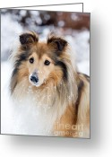 Sheltie Greeting Cards - Sheltie Greeting Card by Kati Molin