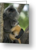 Peninsular Greeting Cards - Silvered Leaf Monkey Trachypithecus Greeting Card by Cyril Ruoso