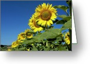 Asteraceae Greeting Cards - Sunflowers  Greeting Card by Bernard Jaubert