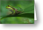 Screen Doors Greeting Cards - Tree frog Greeting Card by Odon Czintos