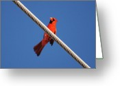 Cardinals. Wildlife. Nature. Photography Greeting Cards - 5- Cardinal Greeting Card by Joseph Keane