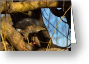 Colorado Creatures Greeting Cards - Colorado Coopers Hawk Greeting Card by Crystal Garner