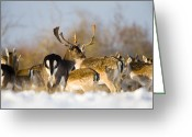 Does. Winter Greeting Cards - Fallow Deer Greeting Card by Don Hooper
