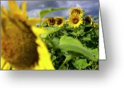 Blurry Greeting Cards - Field of sunflowers Greeting Card by Bernard Jaubert