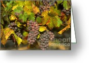 Vinifera Greeting Cards - Grapes growing on vine Greeting Card by Bernard Jaubert