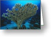 Immobile Greeting Cards - Hard Coral Greeting Card by Alexis Rosenfeld