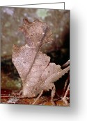 Brown Leaf Greeting Cards - Leaf-mimic Bush Cricket Greeting Card by Dr George Beccaloni