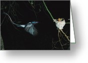 White Morph Greeting Cards - Madagascar Paradise Flycatcher Greeting Card by Cyril Ruoso