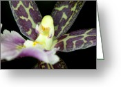 Phalus Greeting Cards - Orchid Flower Bloom Greeting Card by C Ribet