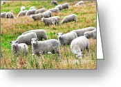 Lambing Greeting Cards - Sheeps Greeting Card by MotHaiBaPhoto Prints