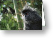 Silvered Leaf Monkey Greeting Cards - Silvered Leaf Monkey Trachypithecus Greeting Card by Cyril Ruoso