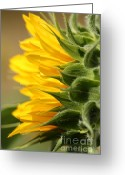 Fashion Photo Prints Greeting Cards - Sunflower from the Color Fashion Mix Greeting Card by J McCombie