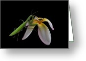 Mantis Greeting Cards - 591 Greeting Card by Peter Holme III