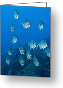 Conformity Greeting Cards - A School Of Bigeye Trevally, Papua New Greeting Card by Steve Jones