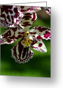 Exotic Greeting Cards - Exotic Orchids of C Ribet Greeting Card by C Ribet
