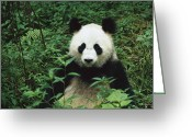 Looking At Camera Greeting Cards - Giant Panda Ailuropoda Melanoleuca Greeting Card by Cyril Ruoso