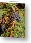 Crops Greeting Cards - Grapes growing on vine Greeting Card by Bernard Jaubert