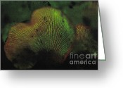 Luminescence Greeting Cards - Luminescent Mushroom Panellus Stipticus Greeting Card by Ted Kinsman