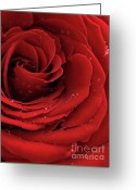 Black Magic Greeting Cards - Beautiful Red Rose Greeting Card by Oleksiy Maksymenko
