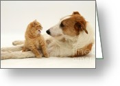 Cross Breed Greeting Cards - Dog And Kitten Greeting Card by Jane Burton