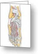 Featured Greeting Cards - Illustration Of Foot Anatomy Greeting Card by Science Source