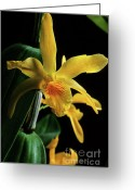 Dendrobium Greeting Cards - Orchid Greeting Card by Sami Sarkis