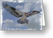 Colored Pencil Greeting Cards - Osprey Flight Greeting Card by Larry Linton