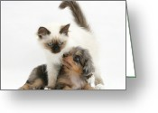 Cross Breed Greeting Cards - Puppy And Kitten Greeting Card by Mark Taylor
