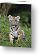 Siberian Tiger Greeting Cards - Siberian Tiger Panthera Tigris Altaica Greeting Card by Konrad Wothe