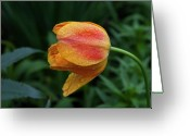 Tulips Pastels Greeting Cards - Tulip and Raindrops Greeting Card by Robert Ullmann