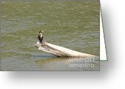 Indiana Rivers Greeting Cards - Double-crested Cormorant Greeting Card by Jack R Brock