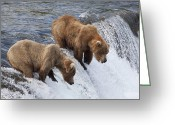 Carnivores Greeting Cards - Grizzly Bear Ursus Arctos Horribilis Greeting Card by Matthias Breiter