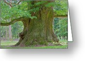 Old Tree Greeting Cards - 800 Years Old Oak Tree  Greeting Card by Heiko Koehrer-Wagner