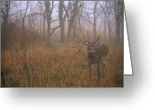 White Tailed Deer Greeting Cards - A 8-point White-tailed Deer Buck Greeting Card by Raymond Gehman