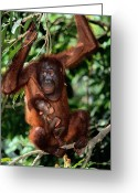 Orangutans Greeting Cards - A Baby Orangutan Pongo Pygmaeus Clings Greeting Card by Tim Laman