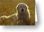 Resting Animals Greeting Cards - A Backlit Italian Sheep Dog Resting Greeting Card by Jason Edwards