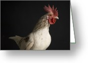 Gallus Gallus Greeting Cards - A Bantam Rooster Gallus Domesticius Greeting Card by Joel Sartore